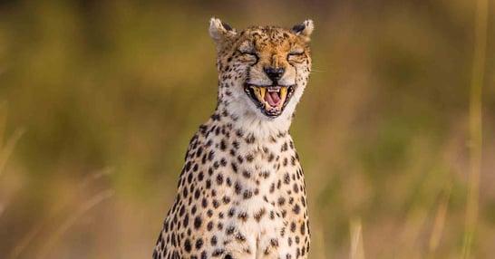 PAY-Laughing-Cheetah.jpg