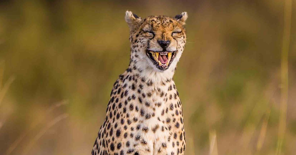 PAY-Laughing-Cheetah.jpg